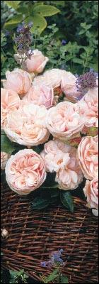 Tornfri roser